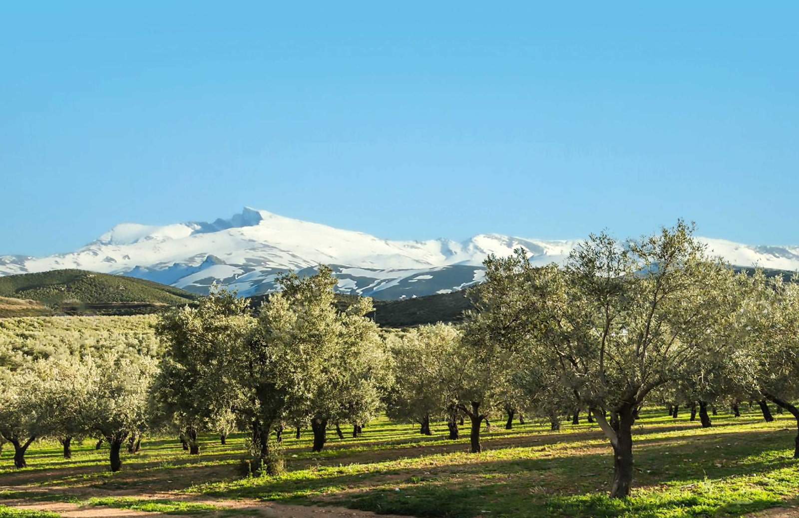 Sierra Nevada peaks seen from the olive grove of Quaryat Dillar in Granada