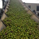 aceitunas verdes de Quaryat Dillar en Sierra Nevada en cinta de transportacion hacia tolva en almazara para ser convertida en aceite de oliva virgen extra
