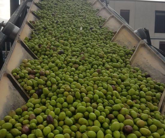 Quaryat Dillar green olives in Sierra Nevada in transportation belt to the hoppel in the mill