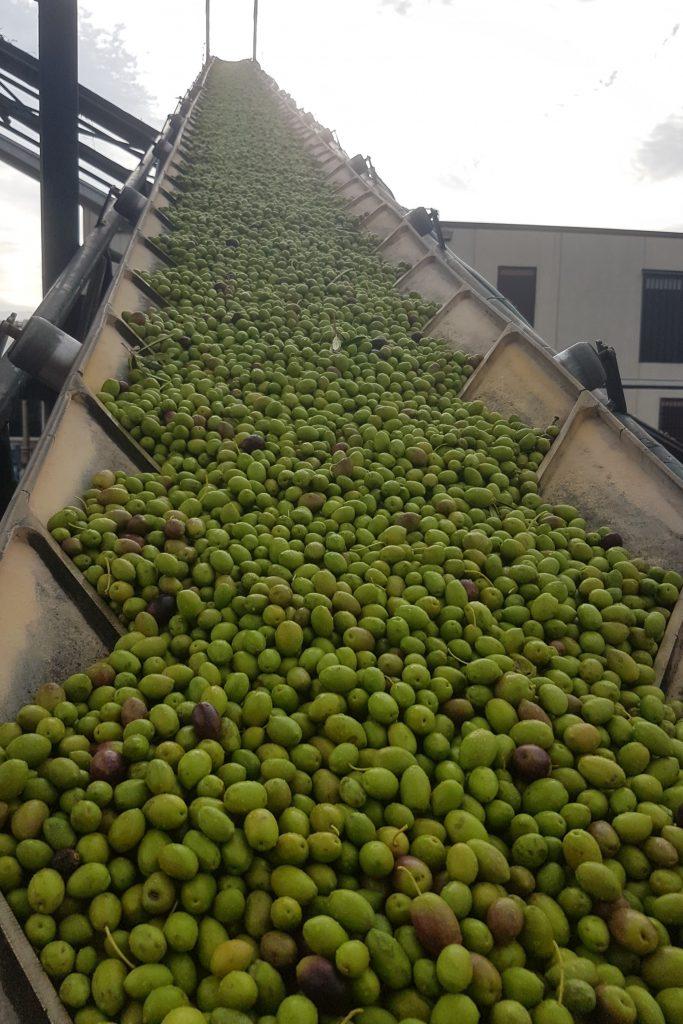 aceitunas verdes de Quaryat Dillar en Sierra Nevada en cinta de transportacion hacia tolva en almazara