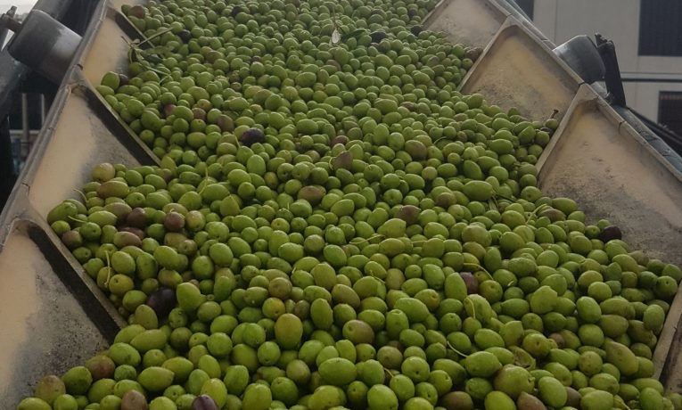 Quaryat Dillar green olives in Sierra Nevada in transportation belt to the hoppel in the mill